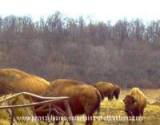 A herd of bison at the Bison Corral in a field