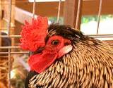 A chicken on display at the Cambria County Fair