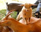 A baby goat on top standing on a calf at the petting zoo at the Kutztown Festival