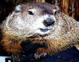 A beautiful closeup of Pennsylvania's famous Punxsultawney Phil