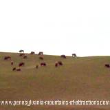 A herd of bison grazing at the Bison Corral