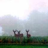 three deer standing on a foggy meadow in the Allegheny Mountains