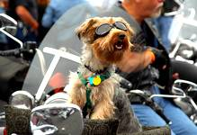 small black and brown dog sitting on a motorcycle with sunglasses at Johnstown's Thunder in the Valley Event