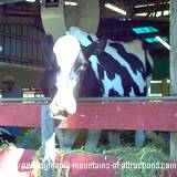 A cow posing for it photo at the Huntingdon County Fair