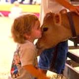 A little girl giving a cow a kiss at the Kutztown Fair