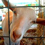 A goat looking into the camera at a PA Fair