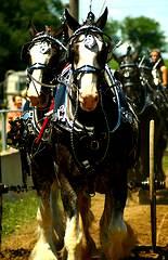 Beautiful horses parade through a PA Fair