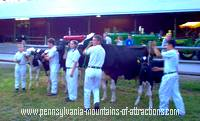 photo of livestock being shown at the Cambria County Fair