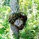 Natural tree carving with moss that looks like a bird in Shawnee State Park