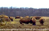 photo of a buffalo ranch on historic PA Lincoln Highway